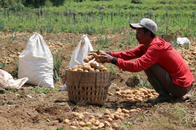 Berapa harga kentang dari petani Dieng?