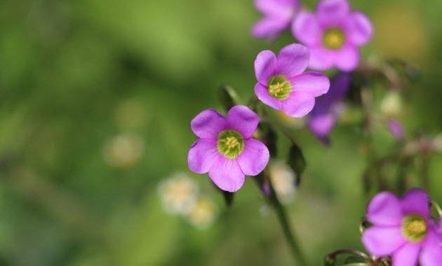 Sebagian bunga-bunga di Dieng tumbuh secara liar