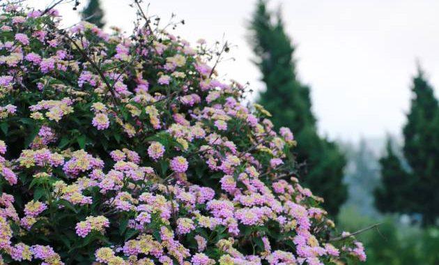 sederet bunga yang tumbuh di Dieng