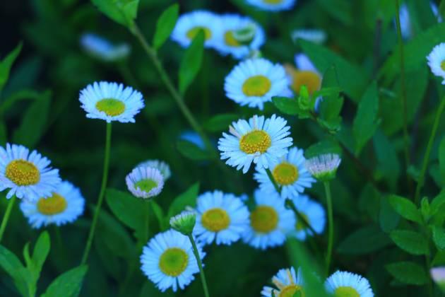 Macam macam bunga cantik yang ada di Dieng